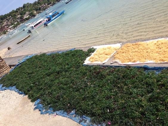 Les tas d'algue sur le bord de mer de Nusa Lembogan